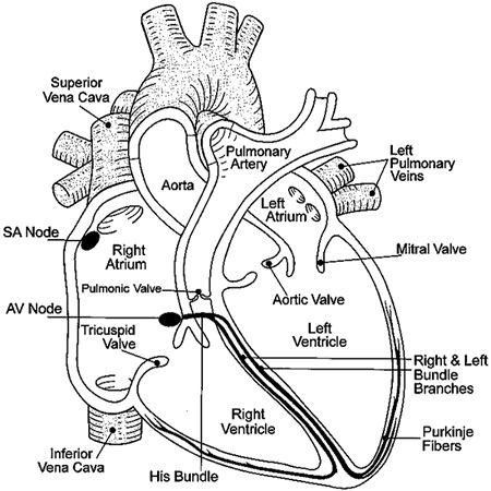 Empty heart diagram schematic wiring diagram how the heart fuctions do i shock this rhythm rh doishockthisrhythm weebly com empty fetal pig diagram digewstive system diagram empty ccuart